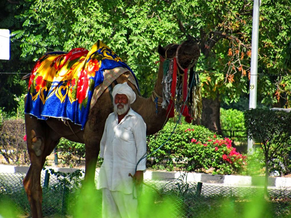 Chandigarh wielbłąd